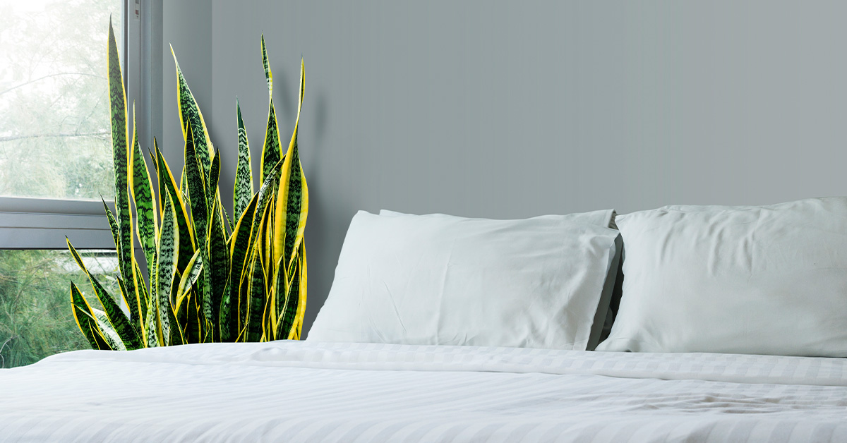 Benefits of Snake Plant: Plus Types, Cautions, and How to Grow