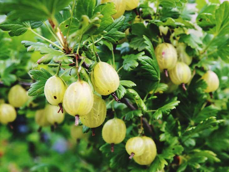 8 Impressive Health Benefits of Gooseberries