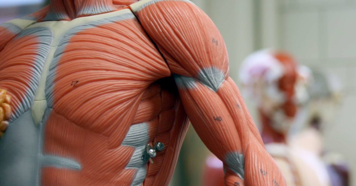 11 functions of the muscular system: Diagrams, facts, and ...